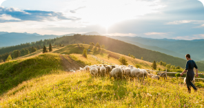Sheep-Beef Cattle Farming in New Zealand